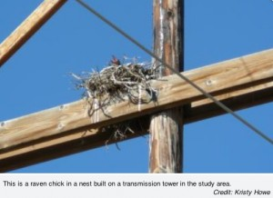 raven chick nest powerline