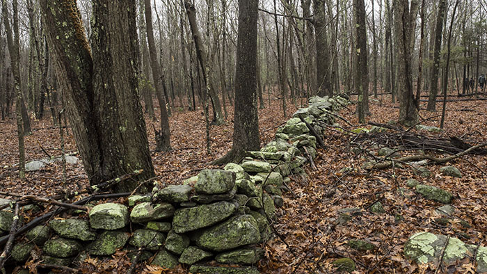 One of the many stone walls criss-crossing this former farm area.
