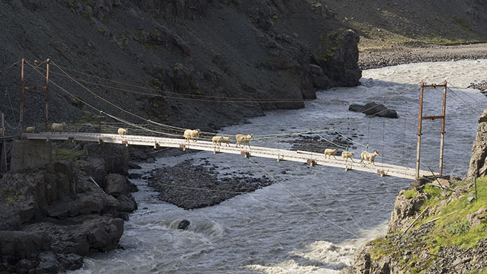 The sheep are old hands and have no problem crossing the bridge.
