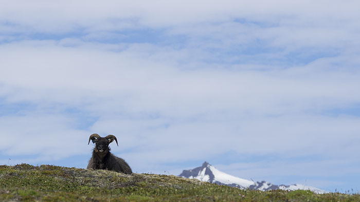 Icelandic killer sheep ambush.