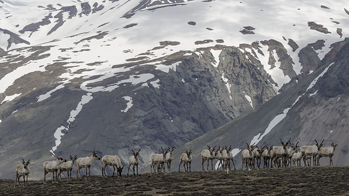 Reindeer ambush.