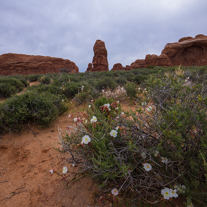Redrock and cool wildflowers in Arches National Park