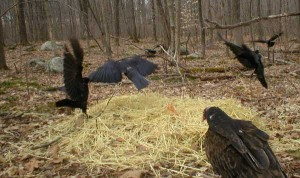 Three crows and a turkey vulture are photographed near a compost pile as part of Scott Smedley's Wildlife CSI project.
