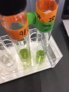 Growing an algae culture in Bio class at Trin