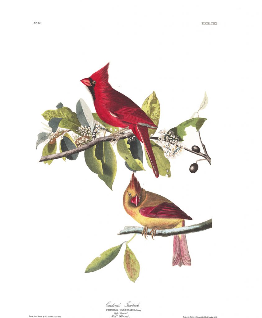 plate-159-cardinal-grosbeak-final
