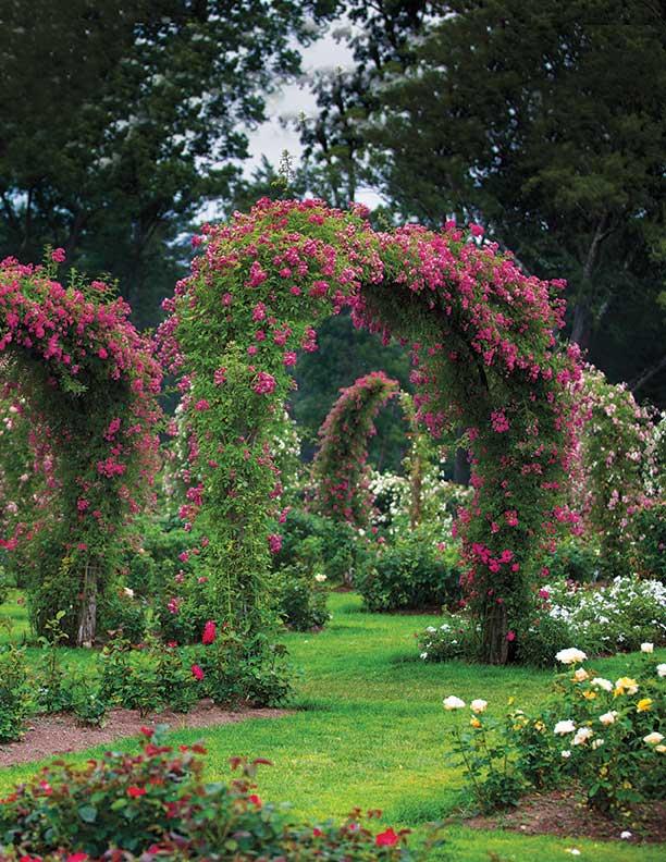Rose arch in Elizabeth Park